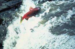 Rivers of the US and Canadian Pacific Northwest are running red with a vast swarm of salmon