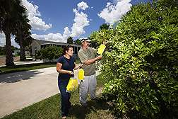 Scientists study essential oils to attract asian citrus psyllid