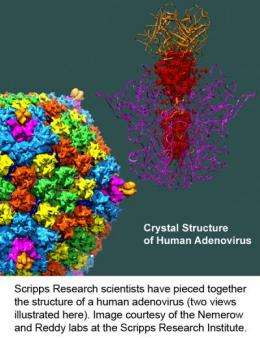 Scientists unveil structure of adenovirus, the largest high-resolution complex ever found