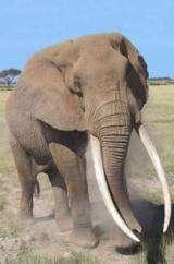 Scientists urge treaty panel to reject ivory sale by Tanzania, Zambia