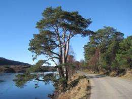 Scots Pine shows its continental roots