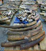 Seized elephant tusks in Hong Kong