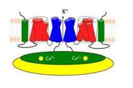 Solving the puzzle of the BK ion channel