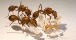 Studying ants to find out how colony size affects patterns of behavior, energy use