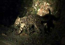 Sundaland clouded leopard has been caught on camera for the first time ever