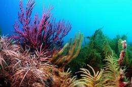 This undated University of Miami image shows Gorgonian Corals in the Dry Tortugas National Park