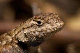 Tick population plummets in absence of lizard hosts