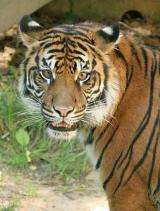 Tigers found at record altitude in boost for survival hopes