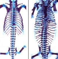 To have or not to have ribs (a vertebrate story)