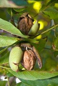 Walnuts, walnut oil, improve reaction to stress