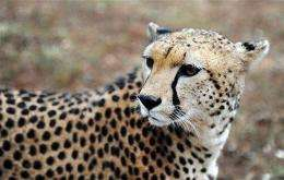 Wild cheetahs have been seen in the Iona region in southern Namibe province, home to Angola's biggest national park