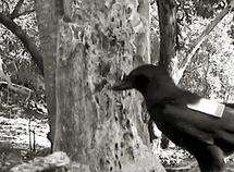 Wild crows reveal tool skills