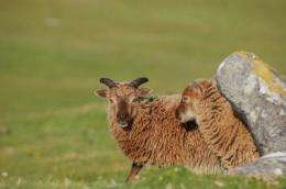 Wild Scottish sheep could help explain differences in immunity