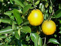 Winter drought stress can delay flowering, prevent fruit loss in orange crops