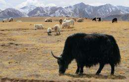 Yaks and sheep graze on grasslands in Hainan Tibetan Autonomous Prefecture on the Qinghai-Tibet plateau