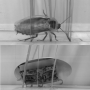 Cockroach-inspired robot uses body streamlining to negotiate obstacles