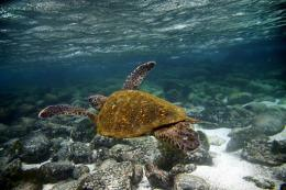 A Green sea turtle (Chelonia mydas) swims underwater in San Cristobal island, Galapagos Archipelago, in 2009