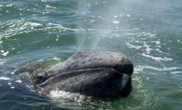 A grey whale calf exhales through its blowholes at the San Ignacio Lagoon, in Baja California Sur state, Mexico