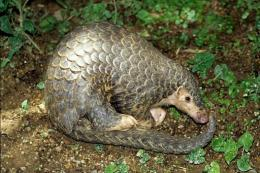 An undated handout photo from the Zoological Society of London shows a Chinese pangolin
