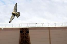 A peregrine falcon flies above the pitch inside the WC2010 Nelson Mandela Bay soccer stadium