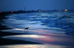 A tern combs the beach for food as the sun rises on August 13, in Grand Isle, Louisiana