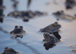 Concern that British common frogs could croak it