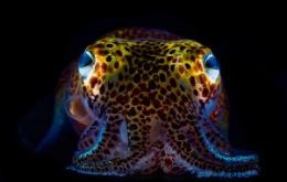 Glowing Squid Illuminate Immune System Function