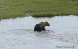Grizzly bears move into polar bear habitat in Manitoba, Canada