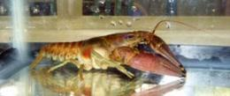 Long-term lake study suggests ecological mechanism may control destructive crayfish