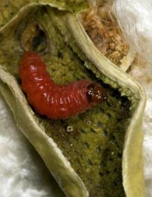 New insect birth control strategy zaps cotton pests