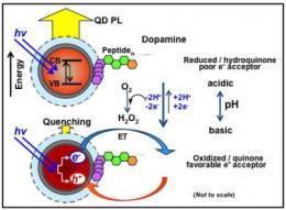 NRL scientists unravel complex quantum dot-dopamine interactions