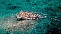 Octopus mimics flatfish and flaunts it