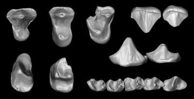 Odd Mosaic of Dental Features Reveals Undocumented Primate