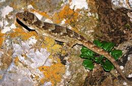 Rare gecko seen on NZ mainland for first time in century
