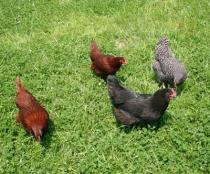 Research shows eggs from pastured chickens may be more nutritious