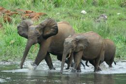 Study: Elephants unfazed by dynamite, but fear humans
