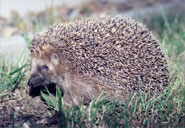 Hedgehogs adapt to life in the city
