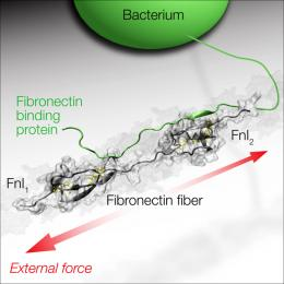 "Bacteria with ""force sensors"""