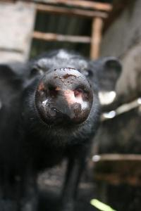 Chinese pigs 'direct descendants' of first domesticated breeds