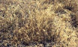 In elevated carbon dioxide, soybeans stumble but cheatgrass keeps on truckin'