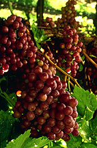 Scientists complete more comprehensive genetic analysis of domesticated grape