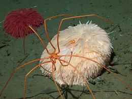 Sea spiders and pom-pom anemones