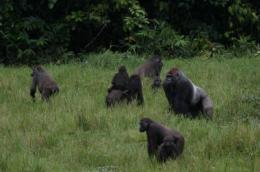 Study looks at gorillas, elephants and logging in Congo