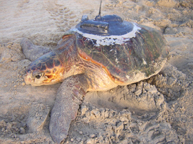 Loggerhead Turtle with transmitting unit