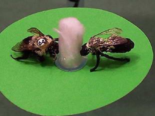 Bumblebee See, Bumblebee Do