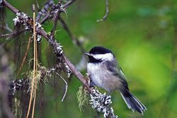A chickadee's alarm call carries a surprising amount of information