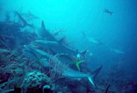 Research Shows Overfishing Of Sharks Key Factor In Coral Reef Decline