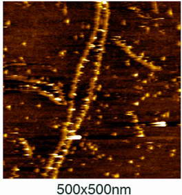 An atomic force microscopy image of the thrombin/DNA complex