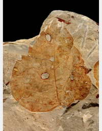 Fossil leaf from the Bighorn Basin, Wyo. Credit: Scott Wing, Smithsonian Institution