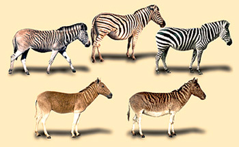 Existing zebra (top row) and extinct quagga (bottom row)
